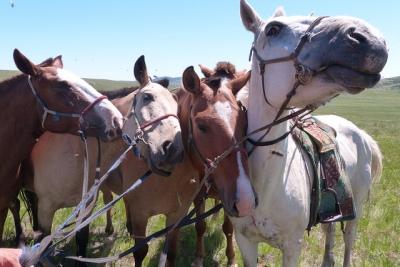 Mongolie Khentii chevaux mongols mouches