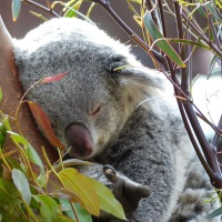 koala Pairi Daiza